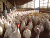 Winters-Turkeys-Inside-Barn